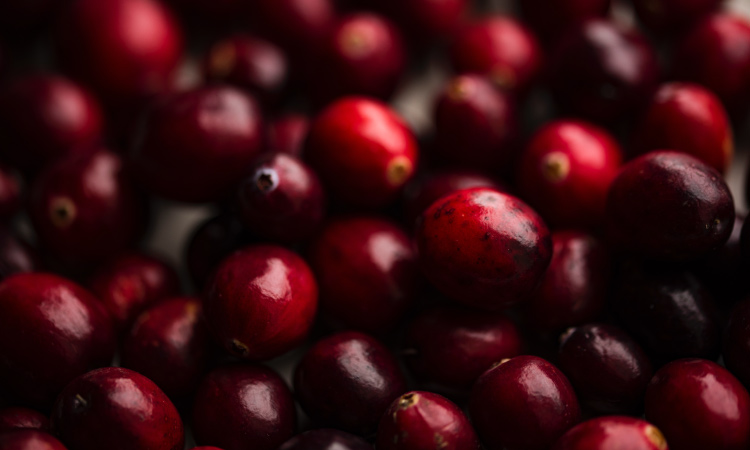 Closeup of a cluster of red cranberries to be made into cranberry sauce for Thanksgiving